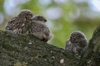 fledglings... Little Owl *Athene noctua*
