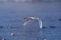 Swans fly in mist on altai lake Svetloe