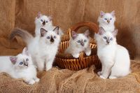 SACRED CAT OF BIRMA, BIRMAN CAT, KITTEN, LITTER, CHOCLATEPOINT, BLUEPOINT,