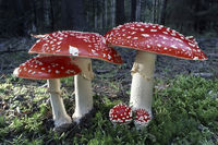 fly agaric or fly amanita, Amanita muscaria