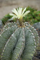 flowering cactus