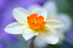 Spring flowers - narcissus close up
