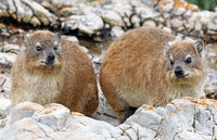 Rock Dassies, South Africa