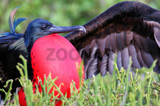 Male Great Frigatebird (Fregata minor) displaying