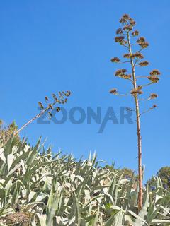 Agaven mit zwei verblüten Blütenständen vor blauem Himmel