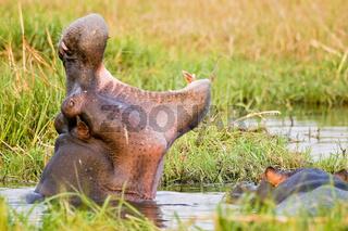 Flusspferd (Hippopotamus amphibius) mit aufgerissenem Maul, Moremi National Park, Moremi Wildlife Reserve,  Okavango Delta, Botswana, Afrika, Hippo with a open mouth, Africa