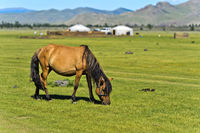 Horse grazing on a pasture near yurts, Orkhon Valley, Mongolia