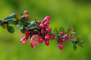 Zierquittenblüte