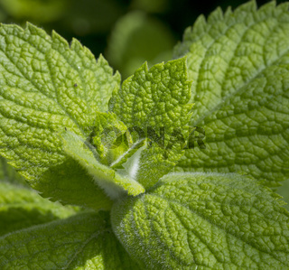 Close up green peppermint leaves.