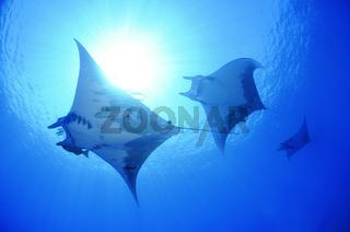 Mobula tarapacana, Kleiner Teufelsrochen,  Schule von Mobulas , Manta,  Devil ray, Devil fish, big school of Manta rays with scuba diver