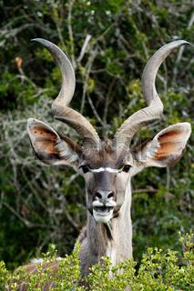 Smiling - Greater Kudu - Tragelaphus strepsiceros