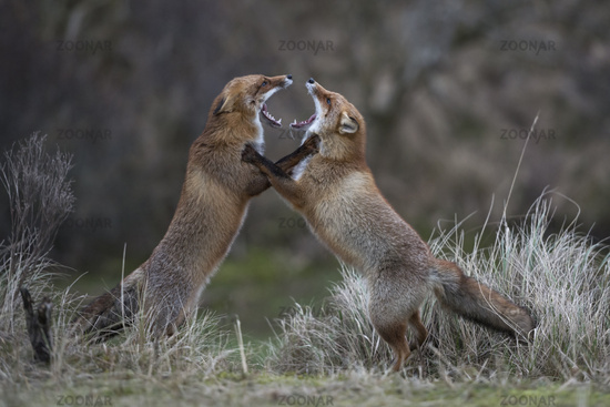 on hind legs... Red Foxes *Vulpes vulpes*