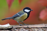Great Tit at the bird house