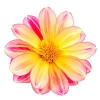 Isolated dahlia flower blossom