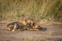 African wild dog laying on the dirt.