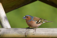 chaffinch in the bird house