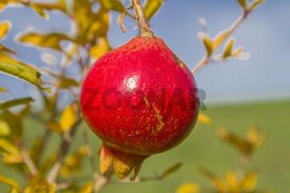 Reifer Granatapfel am Baum