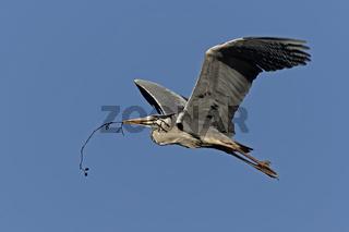 Graureiher (Ardea cinerea), adult, im Flug, Schleswig Holstein, Deutschland, Europa