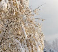 Autumn trees covered with a snow