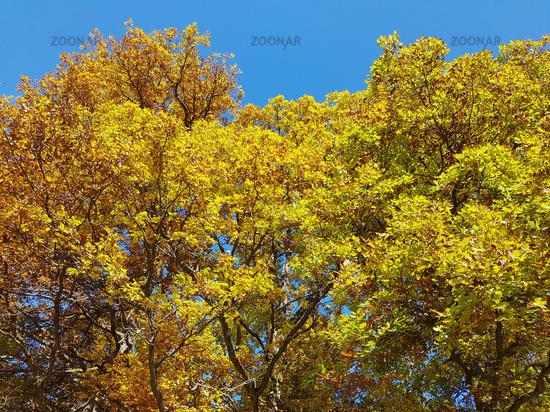 Photo Eichenwald Herbst Eichenblaetter Quercus Robur Image 9982768
