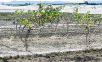grape vines with bird netting