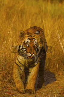 Tiger, Panthera tigris. Matkasur Male. Tadoba Tiger Reserve, Chandrapur district