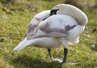 mute swan (Cygnus olor), Cub with head in plumage, Bochum, Germany, Europe