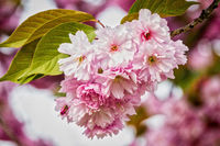 Ornamental Cherry Tree