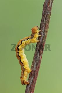 Grosser Frostspanner (Raupe) (Erannisdefoliaria)