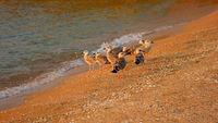 Seagulls On the Shore of the Sea Sunset Sunlight.