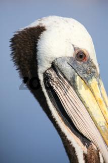 Portrait of Brown Pelican in Paracas Bay, Peru
