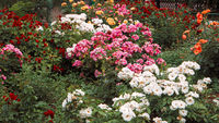 Beautiful roses garden, flowerbed with different color rose-flowers, vintage toned colorized