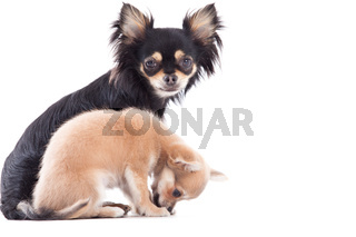 Weet chihuahua dogs