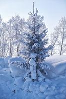 Fir tree under hoarfrost in snow field in winter season