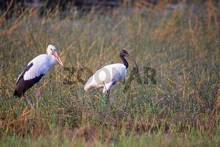 Open Bill Stork, Anastomus oscitans and Black Headed Ibis, Tadoba Andhari Tiger Reserve, Maharashtra