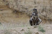 on a warm summer evening... Eurasian Eagle Owl *Bubo bubo*