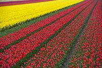 Anbau von Tulpen zur Gewinnung von Tulpenzwiebeln