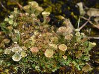 shrub lichens; lichen;