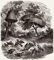 The sociable weaver, Philetairus socius,
