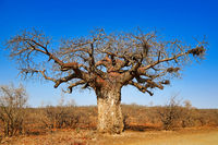 monkey-bread tree, Kruger National Park, South Africa, Adansonia digitata