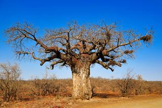 Affenbrotbaum, Kruger Nationalpark, Südafrika, monkey-bread tree, Kruger National Park, South Africa, Adansonia digitata