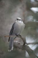 always attentive... Grey Jay *Perisoreus canadensis*