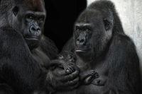 we are a gorilla family
