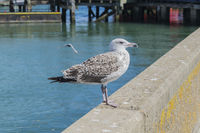 Young herring gull standing on a harbour wall