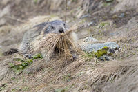 Alpine Marmot (Marmota marmota), Grossglockner, Hohe Tauern National Park, Kaernten, Austria, Europe