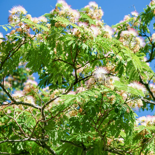 flowering Acacia tree branch in Carcassonne