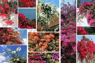 Bougainvillea, collage