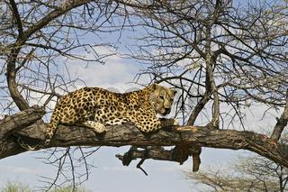 Leopard (Panthera pardus) auf einem Baum, Namibia, Afrika,  Leopard is sitting on a tree, Africa