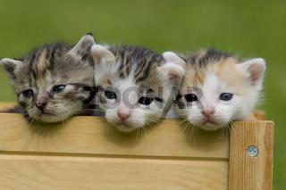 Kätzchen, Kitten