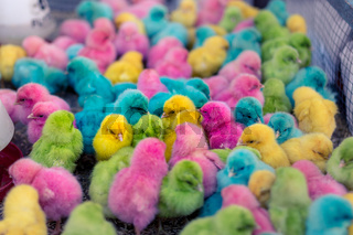Novelty colorfully color died chicks in a pen cage for sale at an Asian market.